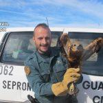 El Seprona recupera un aguilucho herido en Cifuentes y lo entrega en el zoo de Guadalajara para ser tratado