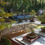 Este fin de semana, el Zoo de Guadalajara albergará una exposición de bonsais