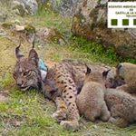 Un cazador mata a una hembra de lince ibérico cuando criaba cuatro cachorros 'al confundirla con un zorro'