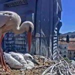 La pareja de cigüeña blanca de Alcalá de Henares vuelve a 'conectarse' en directo por YouTube para todos sus seguidores