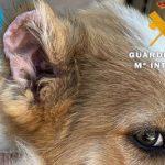 La Guardia Civil investiga por maltrato animal al hombre que mutiló parte de las orejas y los rabos de varios cachorros de perro